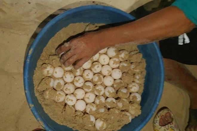 Rùa biển quý hiếm hì hục cả đêm đẻ gần 100 quả trứng - 2