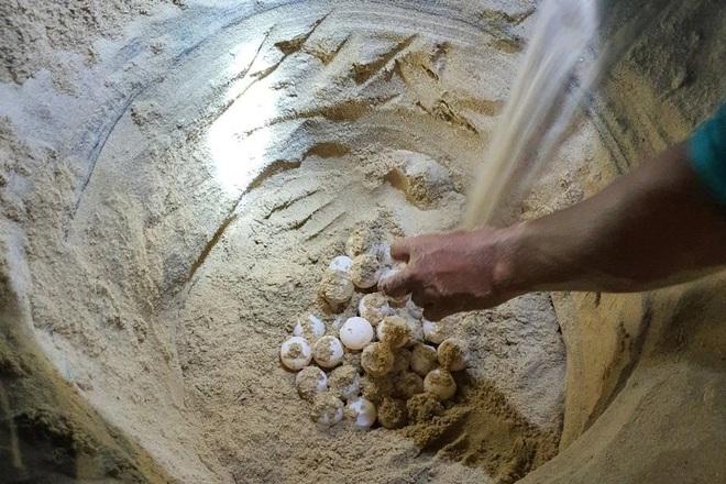 Rùa biển quý hiếm hì hục cả đêm đẻ gần 100 quả trứng - 3