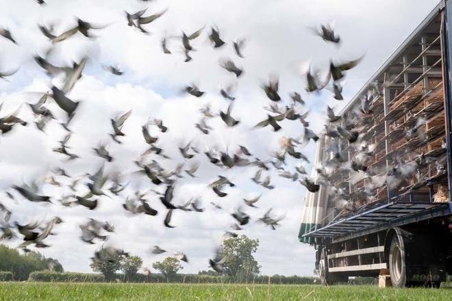 Hàng ngàn chim bồ câu mất tích không dấu vết - 1