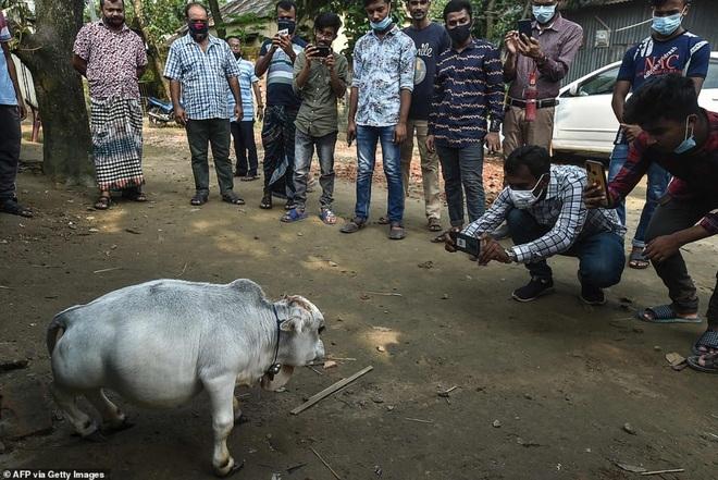 Chú bò tí hon nhất thế giới, chỉ cao... 51 cm - 5