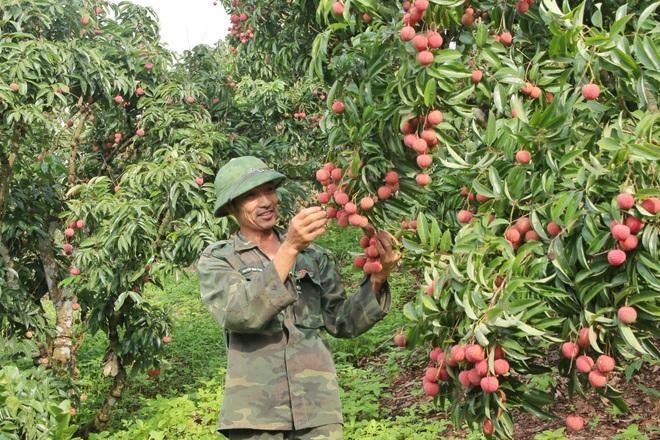 Đầu ra ổn định nhờ các nền tảng công nghệ, nhiều chủ vườn vải Bắc Giang thở phào - 1