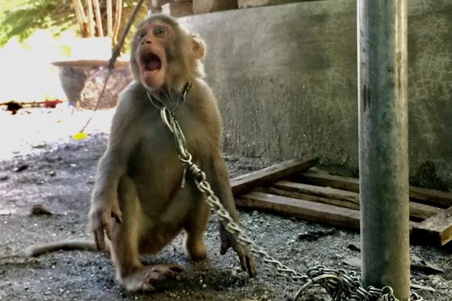 Bắt được cá thể khỉ vàng nằm trong sách đỏ thế giới - 2