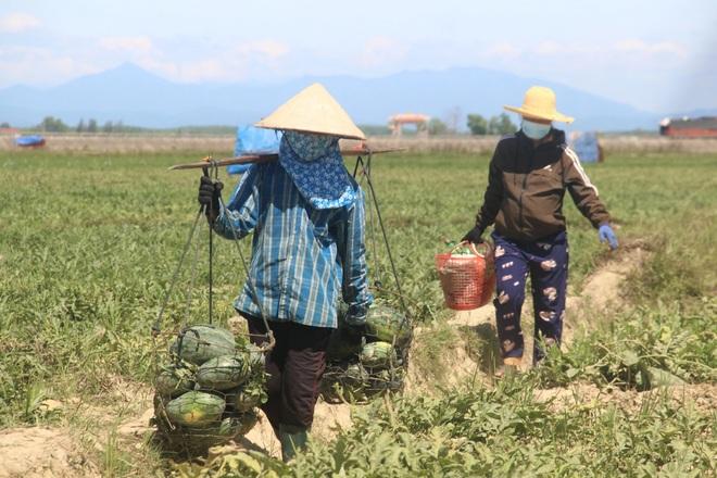 Thu nhập cao hơn cây lúa nhờ trồng dưa trái vụ - 6