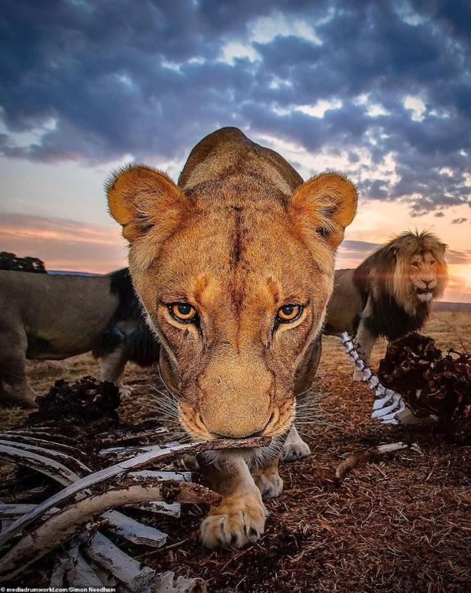 Choáng với bức ảnh sư tử đứng trên... gò xương trắng - 2