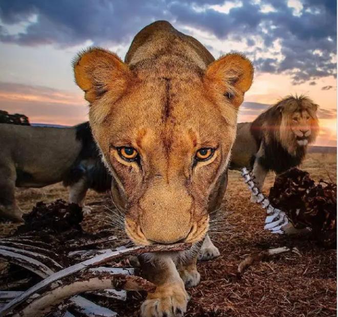 Bức ảnh sư tử kiêu hãnh đứng trên đồi như trong phim Hollywood - 2