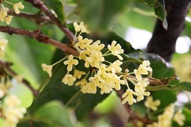 Giải mã cơn sốt Mộc Hương- loài cây đắt đỏ sánh ngang lan đột biến - 2