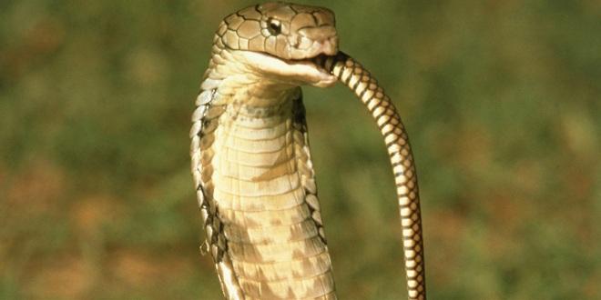 Rùng mình với clip rắn hổ mang ăn thịt đồng loại - 2