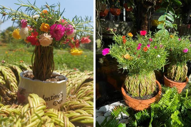9X khởi nghiệp với hoa mười giờ bonsai, thu hàng chục triệu đồng mỗi tháng - 4