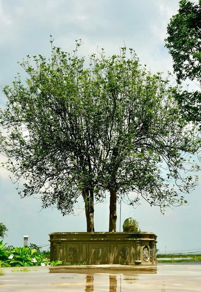 Giải mã cơn sốt Mộc Hương- loài cây đắt đỏ sánh ngang lan đột biến - 3