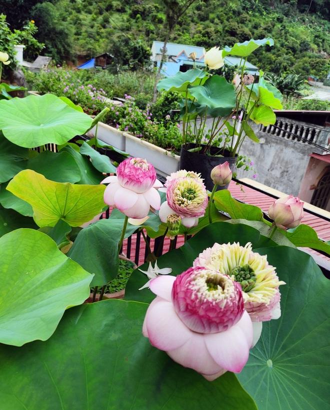 Cô giáo Sơn La làm đầm sen trên cao hơn 30 giống, rực rỡ quanh năm - 3