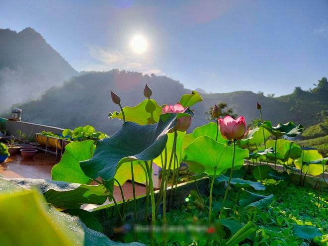 Cô giáo Sơn La làm đầm sen trên cao hơn 30 giống, rực rỡ quanh năm - 5