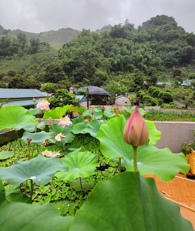 Cô giáo Sơn La làm đầm sen trên cao hơn 30 giống, rực rỡ quanh năm - 9