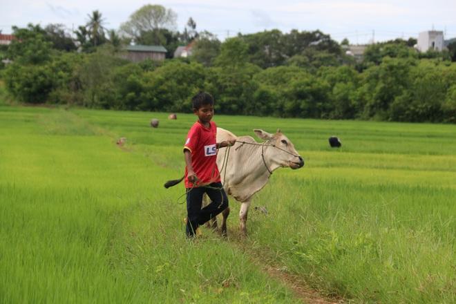 Cậu bé lớp 7 nhỏ thó, nhiều khi bị con bò lôi đi xềnh xệch.