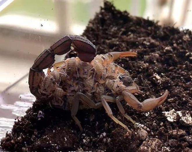 Kỳ lạ bọ cạp nâu chuyển màu xanh tím dưới tia UV - 1