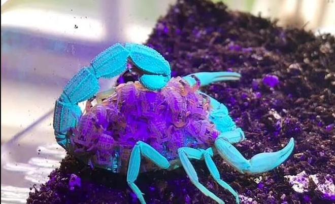 Kỳ lạ bọ cạp nâu chuyển màu xanh tím dưới tia UV - 2
