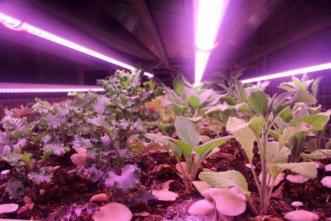 Biến hầm để xe thành nông trại trồng nấm, rau xanh ở Paris - 5