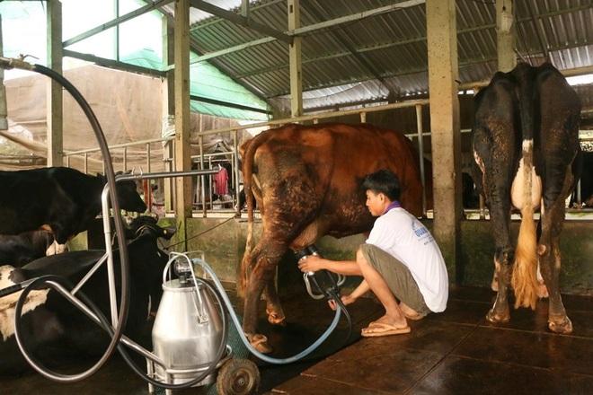 Nông dân miền Tây đổ bỏ hàng nghìn lít sữa bò do ách tắc khâu vận chuyển - 2