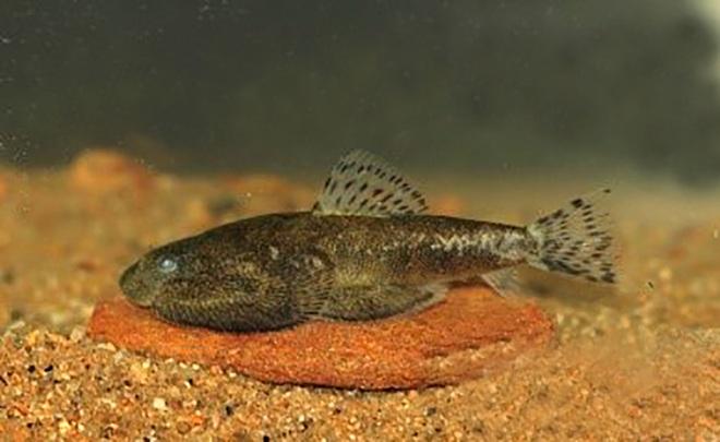 Phát hiện loài cá taxon độc nhất ở Khu bảo tồn thiên nhiên Pù Hoạt - 3