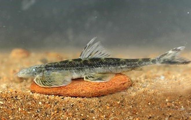 Phát hiện loài cá taxon độc nhất ở Khu bảo tồn thiên nhiên Pù Hoạt - 4
