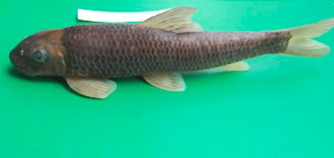 Phát hiện loài cá taxon độc nhất ở Khu bảo tồn thiên nhiên Pù Hoạt - 10
