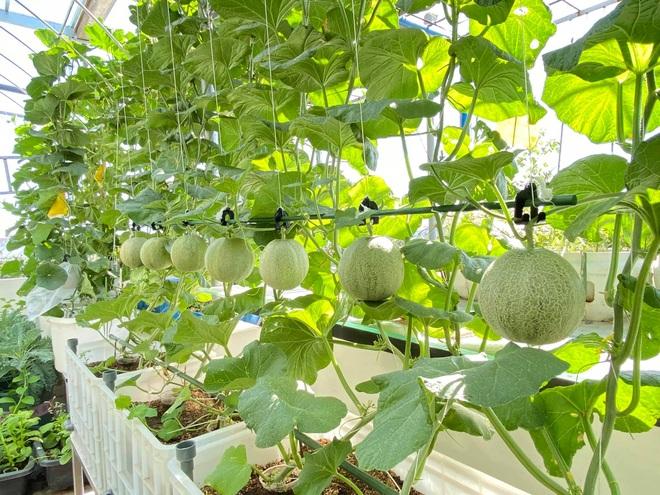 Bí kíp trồng cây dây leo cho quả sai trĩu, ít sâu bệnh của mẹ đảm Đà Nẵng - 5