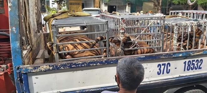 Nuôi nhốt trái phép 17 con hổ trưởng thành trong nhà dân ở Nghệ An - 1