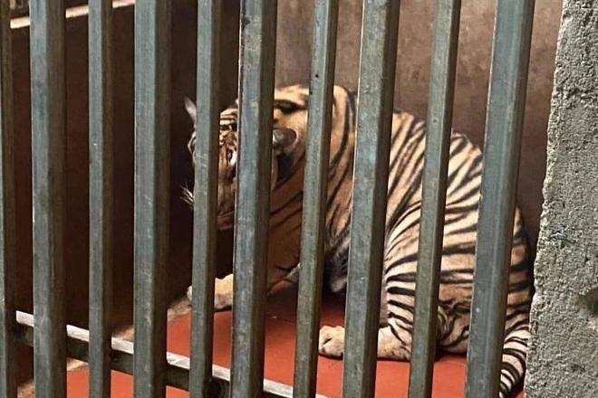 Vụ giải cứu 17 con hổ: Vì sao 8 con chết bất thường? - 1