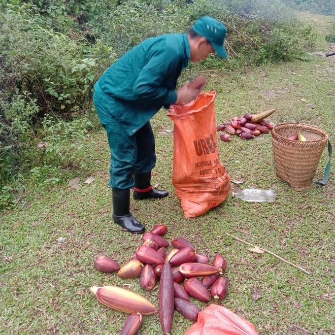Người dân xã Tam Hợp, huyện Tương Dương lên rừng hái búp chuối về ủng hộ cho bà con miền xuôi chống dịch Covid-19.