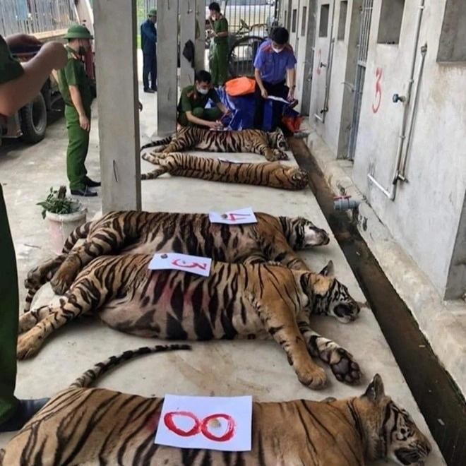 Vụ cứu 17 con hổ: Phí chăm sóc 20 triệu đồng/ngày, chưa có đơn vị nhận nuôi - 2