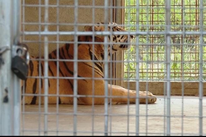 Vụ cứu 17 con hổ: Phí chăm sóc 20 triệu đồng/ngày, chưa có đơn vị nhận nuôi - 1