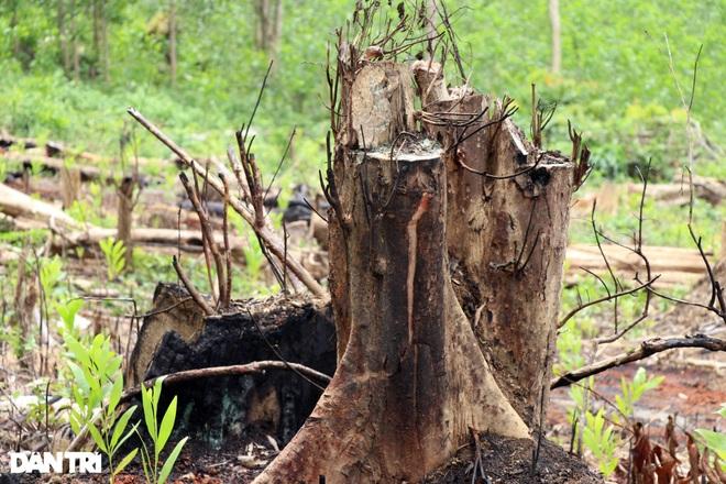Vụ rừng bị cạo trọc, kiểm lâm không hay: Khởi tố 2 bị can đầu tiên - 1