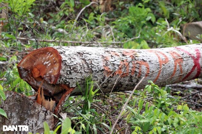 Vụ rừng bị cạo trọc, kiểm lâm không hay: Khởi tố 2 bị can đầu tiên - 2