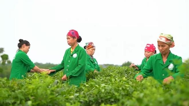 Hải Trà Tân Cương bán trà Thái Nguyên có thực sự uy tín không? - 1