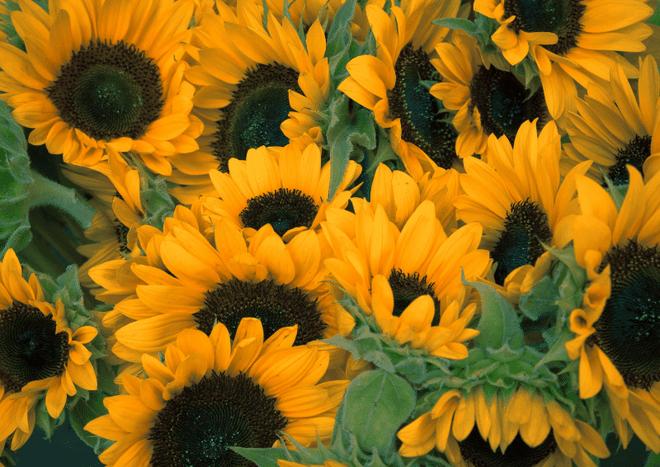 Khoảnh khắc hé nở đầy mê hoặc của hoa hướng dương - 4
