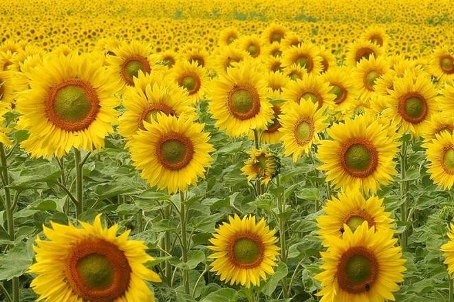 Khoảnh khắc hé nở đầy mê hoặc của hoa hướng dương - 3