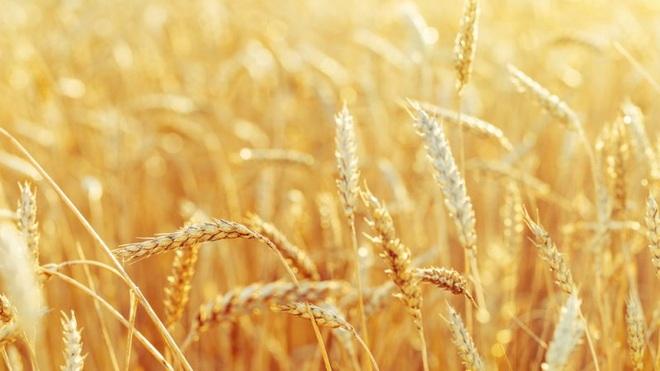Thử nghiệm đồng ruộng cây trồng chỉnh sửa gen đầu tiên tại Anh và Châu Âu - 1