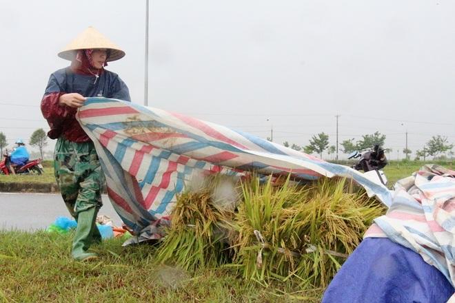 Nông dân bì bõm gặt lúa chạy bão - 6