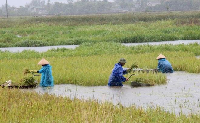 Nông dân bì bõm gặt lúa chạy bão - 1