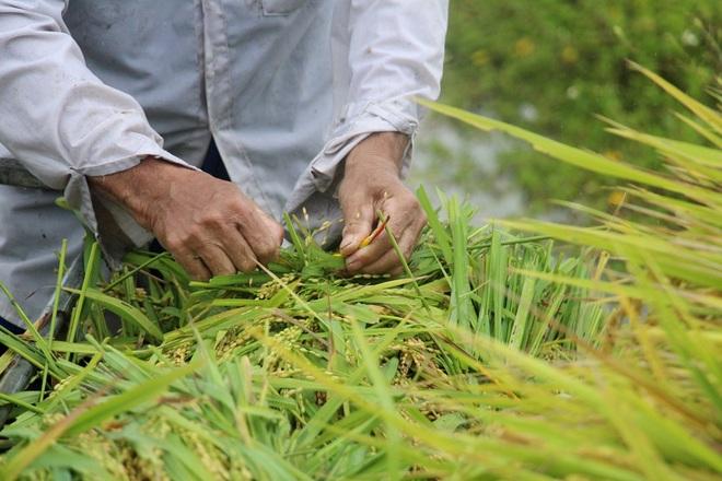 Nông dân bì bõm gặt lúa chạy bão - 4
