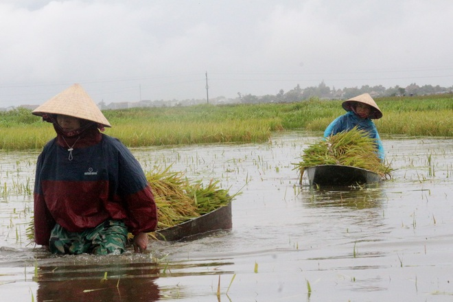 Nông dân bì bõm gặt lúa chạy bão - 2
