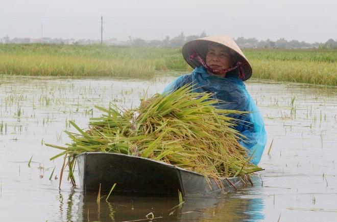 Nông dân bì bõm gặt lúa chạy bão - 5