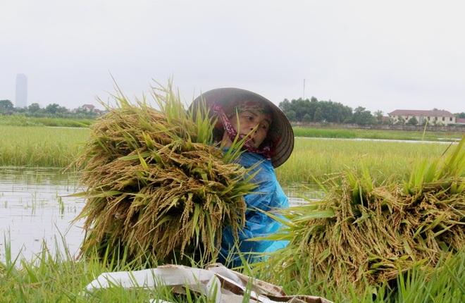 Nông dân bì bõm gặt lúa chạy bão - 3