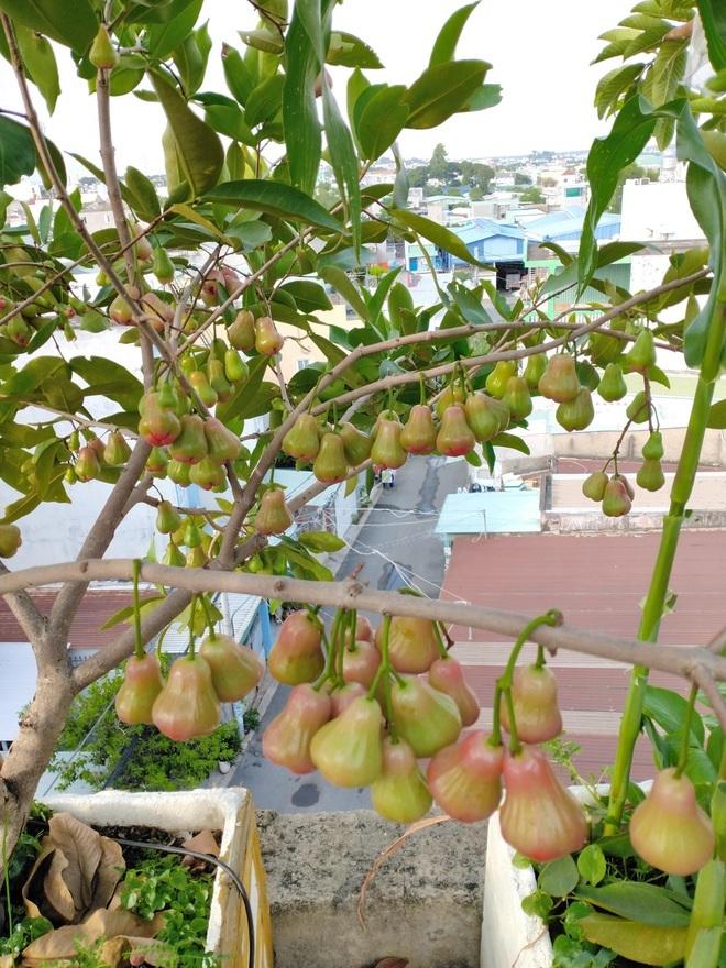 Loạt gia đình ở Việt Nam đưa vườn trái cây lên cao, thu hoạch cả tạ/năm - 2