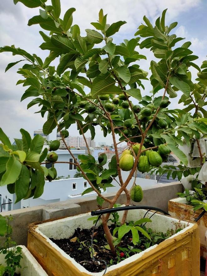 Loạt gia đình ở Việt Nam đưa vườn trái cây lên cao, thu hoạch cả tạ/năm - 3