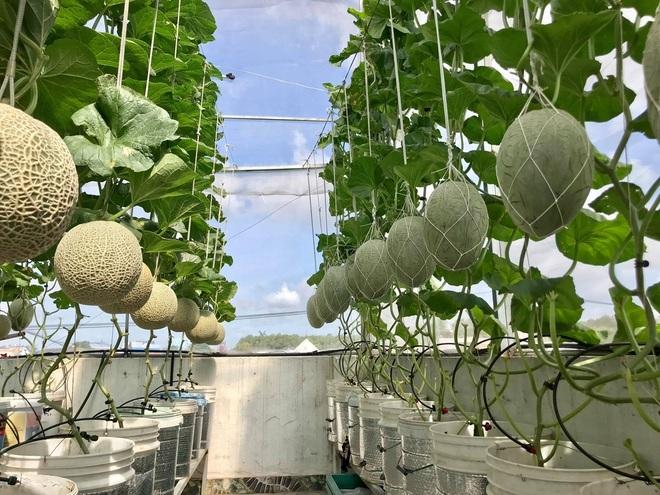 Loạt gia đình ở Việt Nam đưa vườn trái cây lên cao, thu hoạch cả tạ/năm - 6