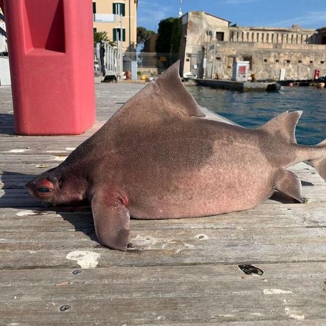 Phát hiện con cá mập kỳ dị có gương mặt... lợn - 2