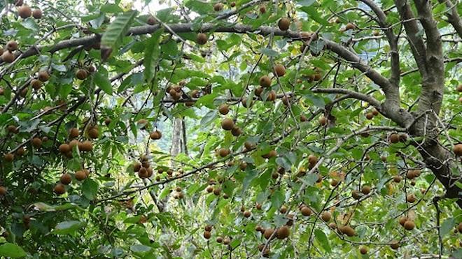 Mắc cọp, loại quả đặc sản của vùng cao Tây Bắc - 3