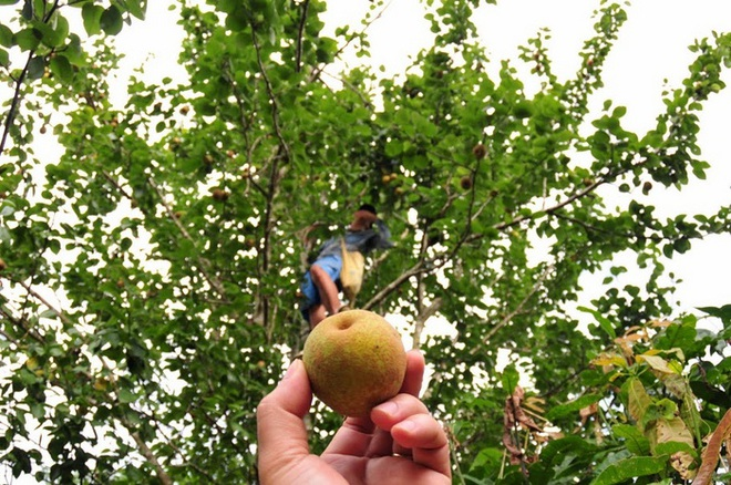 Mắc cọp, loại quả đặc sản của vùng cao Tây Bắc - 2