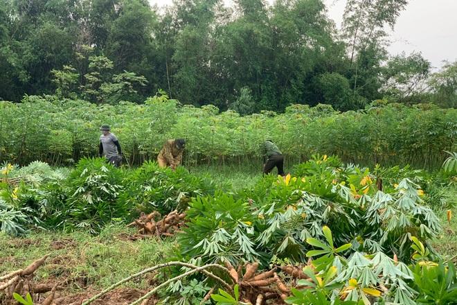 Các chiến sĩ công an chạy đua với mưa bão để thu hoạch sắn giúp người dân  - 1