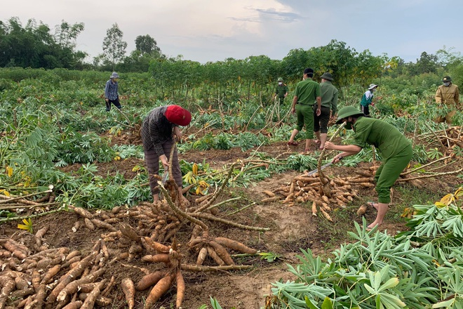 Các chiến sĩ công an chạy đua với mưa bão để thu hoạch sắn giúp người dân  - 2